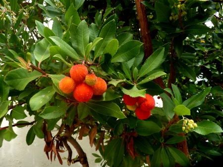 Strawberry tree, Arbutus unedo, evergreen tree with shining obovate toothed leaves and white to pinkish urn-shaped flowers in drooping panicles  Fruits orange to scarlet, strwberry-like  Stock Photo