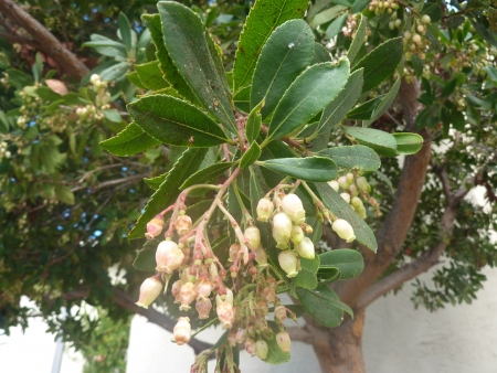 pinkish: Strawberry tree, Arbutus unedo, evergreen tree with shining obovate toothed leaves and white to pinkish urn-shaped flowers in drooping panicles  Fruits orange to scarlet, strwberry-like  Stock Photo