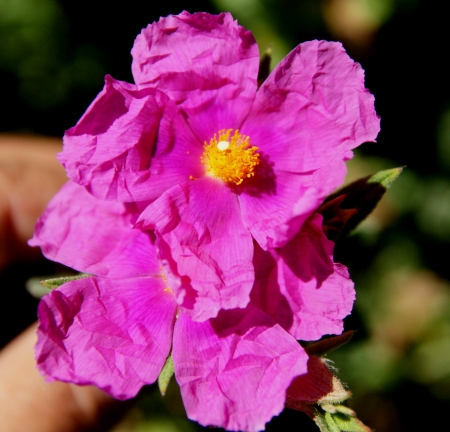 cm: Cistus crispatus, low shrubby plant with undulate 3-nerved leaves, villous-tomentose. Flowers rose-coloured, 5 cm across with villous hairs.