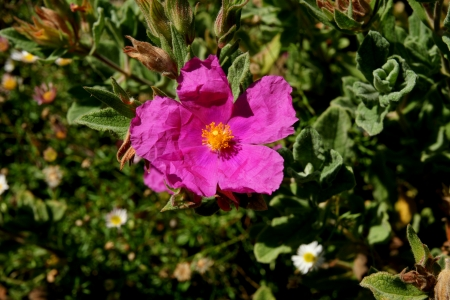 Cistus crispatus, low shrubby plant with undulate 3-nerved leaves, villous-tomentose. Flowers rose-coloured, 5 cm across with villous hairs.