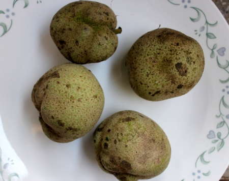 globose fruits: Monkey-jack, monkey-fruit, Artocarpus lakoocha, deciduous tree with oblong to elliptic leaves, up to 30 cm long and 6-8 cm irregularly globose edible fruits