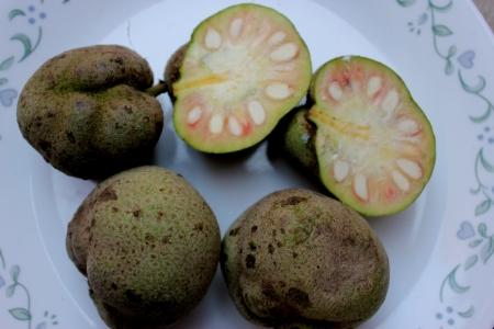elliptic: Monkey-jack, monkey-fruit, Artocarpus lakoocha, deciduous tree with oblong to elliptic leaves, up to 30 cm long and 6-8 cm irregularly globose edible fruits