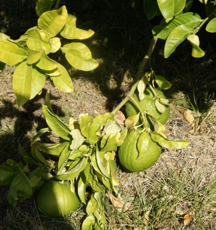 Pomelo, shaddok, Citrus maxima  syn  Citrus grandis, Citrus decumana,tree with yellow to orange fruits, large often up to 16 cm in size, globose, grown as ornamental or dessert fruit  Stock Photo - 20384730