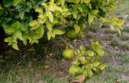 Pomelo, shaddok, Citrus maxima  syn  Citrus grandis, Citrus decumana,tree with yellow to orange fruits, large often up to 16 cm in size, globose, grown as ornamental or dessert fruit  Stock Photo - 20384733