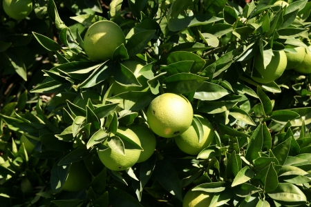 Pomelo, shaddok, Citrus maxima  syn  Citrus grandis, Citrus decumana,tree with yellow to orange fruits, large often up to 16 cm in size, globose, grown as ornamental or dessert fruit  Stock Photo - 20384740