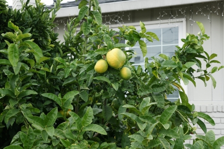 Pomelo, shaddok, Citrus maxima  syn  Citrus grandis, Citrus decumana,tree with yellow to orange fruits, large often up to 16 cm in size, globose, grown as ornamental or dessert fruit  Stock Photo - 20384735