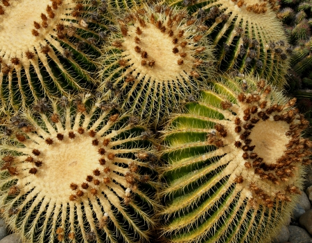 globose: Echinocactus grusonii, barrel cactus, golden barrel cactus, golden ball cactus, golden ball, a cactus with single or clustered stems, globose, up to 1 m in diam with 20-40 ribs and golden yellow spines becoming paler with age