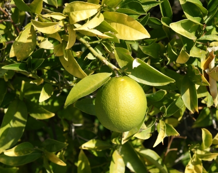 globose: Citrus sinensis, sweet orange, evergreen tree with narrowly winged petioles, globose orange fruit with tight smooth skin and solid core, segments 10-14, pulp sweet, used for juices and as dessert fruit
