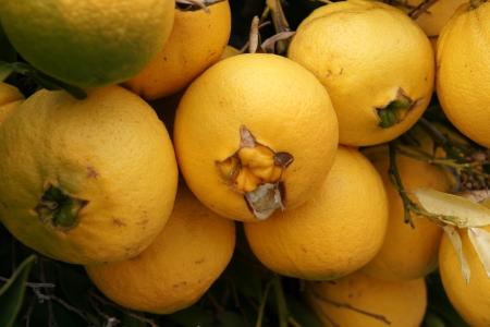 rutaceae: Naranja Navel, Citrus sinensis, naranjas sin semillas con ombligo como abertura por la que a veces surge otra fruta propagadas por estacas