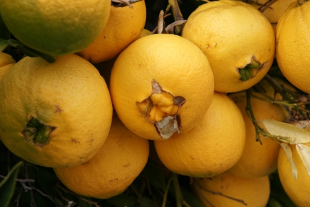 navel orange: Navel orange, Citrus sinensis, seedless oranges with navel like opening through which another fruit sometimes emerges  Propagated through cuttings