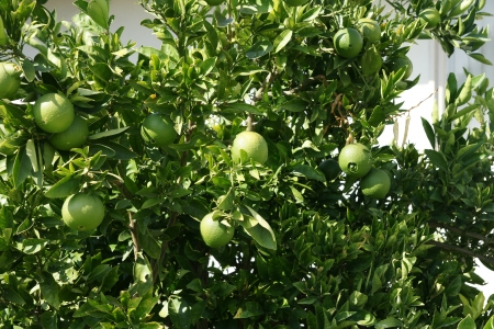rutaceae: Navel orange, Citrus sinensis, seedless oranges with navel like opening through which another fruit sometimes emerges  Propagated through cuttings