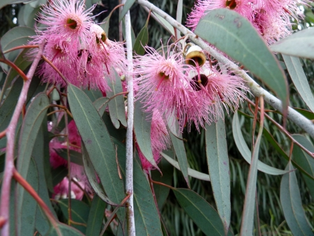 lanceolate: red-flowered yellow gum, Eucalyptus leucoxylon, cv  rosea, tree with mottled bark, lanceolate leaves, flowers with pink stamens in 3-flowered cymes  Fruit ovoid, 10-12 mm  Stock Photo