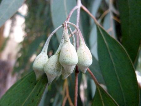 lanceolate: a fiori rossi gum giallo, Eucalyptus leucoxylon, cv rosea, albero con corteccia screziato, foglie lanceolate, fiori con stami rosa in 3 a fiore cymes Frutta ovoidale, 10-12 mm