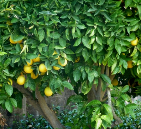 Citrus sinensis, sweet orange, evergreen tree with narrowly winged petioles, globose orange fruit with tight smooth skin and solid core, segments 10-14, pulp sweet, used for juices and as dessert fruit Stock Photo - 20422835
