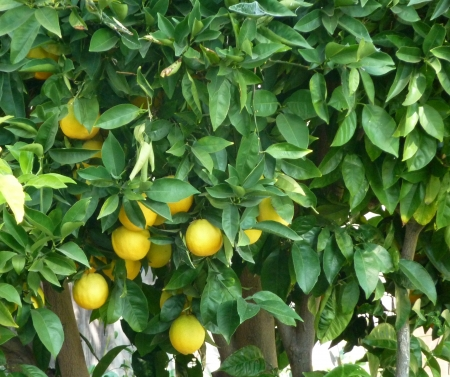 Citrus sinensis, sweet orange, evergreen tree with narrowly winged petioles, globose orange fruit with tight smooth skin and solid core, segments 10-14, pulp sweet, used for juices and as dessert fruit