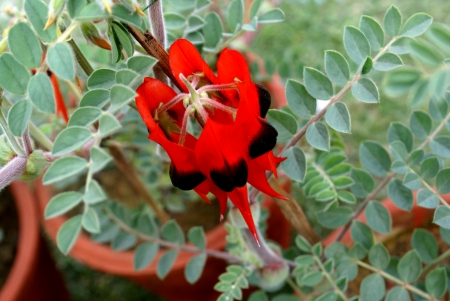 Desert pea, glory pea, Swainsona formosa, an ornamental subshrub with odd-pinnate leaves  and blood red beaked flowers with a black spot                                   Stock Photo