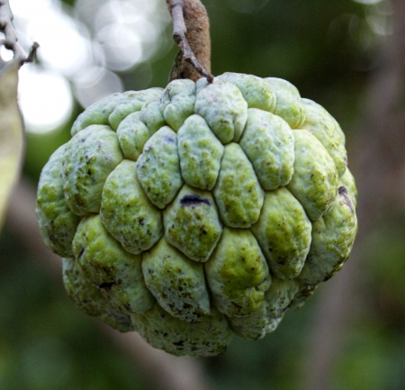 annona squamosa: Sugar apple, sweetsop, Annona squamosa, tree with globular fruit, 7-12 cm across, tubercled surface and custar-like sweet pulp