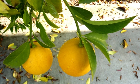 acidic: Lemon, Citrus limon, everegreen spiny tree, leaf without winged petiole  Flowers tinged red in bud  Fruit yellow, ovoid or oblong, with terminal nipple, very acidic   Stock Photo