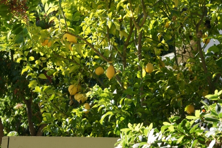 the oblong: Lemon, Citrus limon, everegreen spiny tree, leaf without winged petiole  Flowers tinged red in bud  Fruit yellow, ovoid or oblong, with terminal nipple, very acidic   Stock Photo