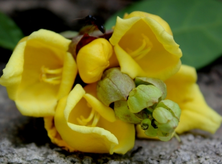 bracts large: Parrots beak, hedgehog, Gmelina philippensis, evergreen shrub or tree with pendent braches, simple leaves and yellow flowers in spikes with large subtending bracts