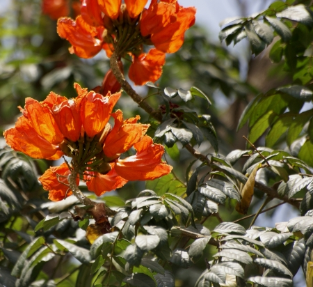 cm: African Tulip tree, Tulip tree, Spathodea campanulata, Flame-of-the-forest, tree with odd-pinnate leaves, 9-19 ovate-lanceolate lealets, up to 10 cm long, corolla scarlet, to 12 cm long, fruit capsule up to 20 cm long               Stock Photo