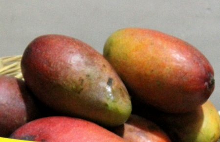 fibres: Ambika variety of mango, Mangifera indica, A hybrid CISH-M-1, a cross between Amrapali and Janardhan Pasand, the fruit is yellow flushed with red, firm flesh and scanty fibres  It has good potential for domestic and export markets Stock Photo