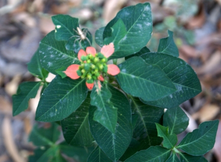glands: Euphorbia cyathophora, painted leaf, Mexican fire plant, Fire-on-the-mountain  Annual herb with entire or fiddle-shaped, sometimes slightly lobed, upper leave red at base; cyathia in clusters, each with 1-2 glands, somewhat 2-lipped