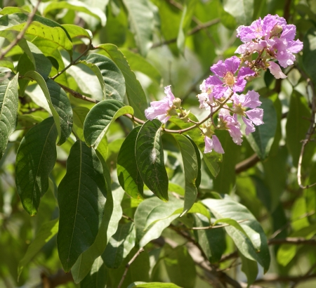 Lagerstroemia speciosa, Pride of India, Queen s crepe myrtle, tree with large elliptic-ovate up to 30 cm long leaves and purple or white flowers, calyx tube 12-ribbed, greyish-pubescent, stamens 150-200