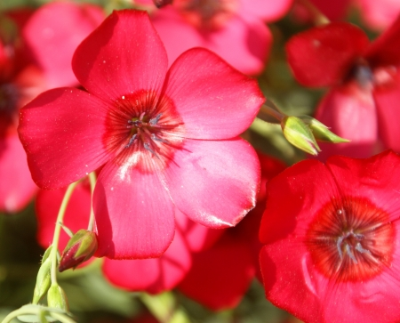 Linum grandiflorum, Linaceae, Crimson flax, scarlet flax, flowering flax, red flax, Ornamental herb with linear leaves, and large red 25-35 mm across flowers                                Stock Photo