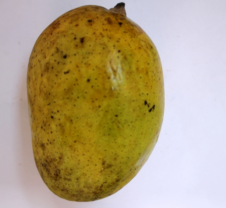 turn about: Chausa mango, Mangifera indica, a late maturing variety of mango reaching the market in middle of July to middle of August  The fruits about 250-350 gm in weight , turn bright yellow when mature  The pulp is very soft, juicy, sweet and ideal for sucking