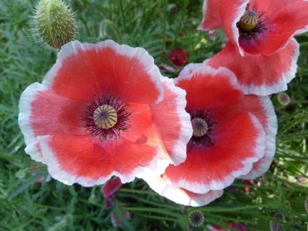 Papaver rhoeas, common poppy, corn poppy, shirley poppy, garden ornamental with hairy often lobed leaves and red to pinkish flowers on long stalk, capsule with rays  Stock Photo