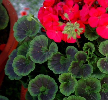 zonal: Pelargonium hortorum, house geranium, zonal geranium, soft stemed houe plant, with rounded-kidey-shaped leaves, and red to purple flowers in umbel-like clusters  Source of geranium oil                     Stock Photo