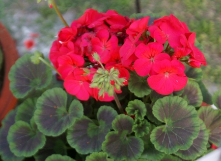 zonal: Pelargonium hortorum, house geranium, zonal geranium, soft stemmed house plant, with rounded-kidney-shaped leaves, and red to purple flowers in umbel-like clusters  Source of geranium oil