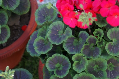 zonal: Pelargonium hortorum, house geranium, zonal geranium, soft stemmed house plant, with rounded-kidney-shaped leaves, and red to purple flowers in umbel-like clusters  Source of geranium oil                  Stock Photo