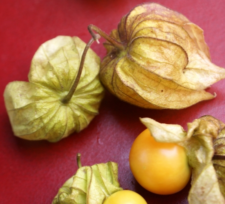 inflated: Cape gooseberry, goldenberry, goose-berry tomato, Peruvian-cherry, Physalis peruviana, Solanaceae, perennial herb with hairy ovate-cordate leaves,  yellow flowers spotted in throat, yellow berries enclosed in inflated calyx