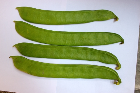 cm: Sword bean, Canavalia gladiata, scimitar bean, Vine with sword-like flat pods up to 30 cm long and up to 5 cm broad with large 25-30 mm long seeds  Pods as vegetable  Stock Photo