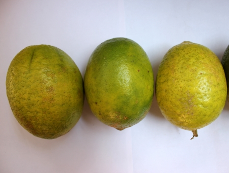 rutaceae: Galgal, Hill lemon, Citrus pseudolimon, Rutaceae, fruit grown in NW India with oblong fruits finally turning yellow with with white pulp, highly acidic, used as pickle  Stock Photo