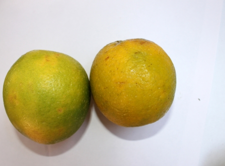 Mosambi, Sweet lime, Citrus limetta, Rutaceae, citrus fruit turning yellow when ripe with sweet light yellow pulp, grown commonly in India