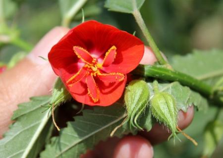 mediodía: Pentapetes phoenicea, Flor del mediod�a, Mallow Scarlet, copas de cobre, Florimpia, Flor del mediod�a, Pentapetes Scarlet, Scarlet fenicio, hierbas con hojas crenados y flores rojas abren al mediod�a