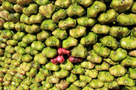 with spines: Water chest-nut, Trapa bispinosa, Trapaceae, aquatic plant with floating leaves producing 4-6 cm  long nuts with two spines  Peeled nuts are eaten raw, roasted or ground into flour to make various preparations  Stock Photo