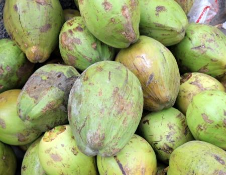 nucifera: Frutos de coco, Cocos nucifera, planta de usos m�ltiples con frutos peque�os que producen bebida refrescante, copra en pudines y los condimentos, la c�scara para el relleno Foto de archivo