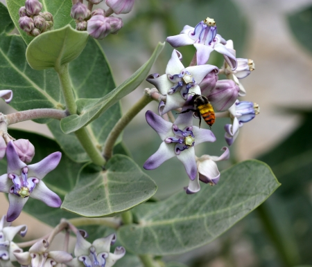 Crown flower, Calotropis gigantea, shrub with white or lavender flowers with crown like central portion  Plant and leaves with milky latex
