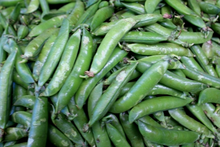yielding: Garden pea, Pisum sativum, Fabaceae  Cultivated herb yielding green pods with seeds used as vegetable or in food fillings  Ripe seeds used as pulse  Stock Photo