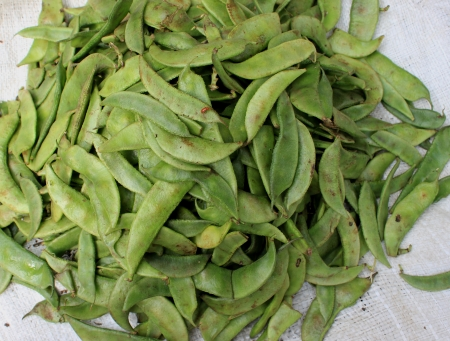 dolichos lablab: Lablab bean,  Climber with trifoliate leaves, white or purple flowers in racemes and flattened pods  Used both as vegetable and pulse