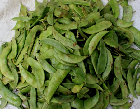 flattened: Lablab bean,  Climber with trifoliate leaves, white or purple flowers in racemes and flattened pods  Used both as vegetable and pulse