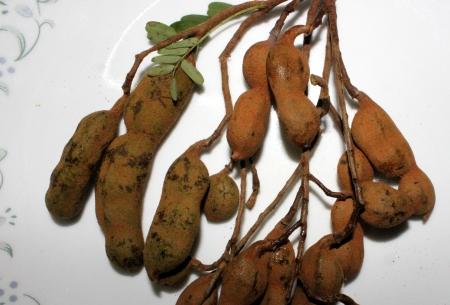 tremp�e: Tamarind, imli, Tamarindus indicus, arbre produisant des gousses dont la pulpe est tremp� dans l'eau et dilu� pour obtenir la p�te de tamarin largement utilis� avec pakoras, des salades et dans diverses pr�parations Banque d'images
