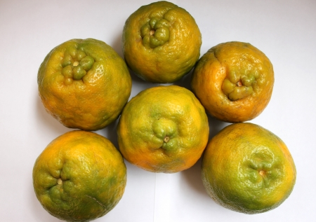 Nagpur orange, Mandarin orange, Citrus reticulata, Rutaceae, Nagpur santra, famous orange grown in Nagpur India with large fruits with wrinkled rind and loosely arranged sweet segments, easily peeled off  Stock Photo - 23418309
