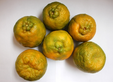 nagpur: Nagpur orange, Mandarin orange, Citrus reticulata, Rutaceae, Nagpur santra, famous orange grown in Nagpur India with large fruits with wrinkled rind and loosely arranged sweet segments, easily peeled off  Stock Photo