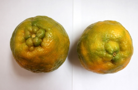 rutaceae: Nagpur naranja, mandarina, Citrus reticulata, Rutaceae, Nagpur santra, naranja famosa crecido en Nagpur India con grandes frutos con c�scara arrugada y segmentos dulces dispuestos libremente, f�cil pelado
