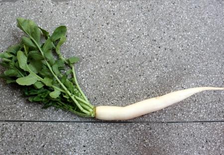 charnu: Daikon, radis blanc, mooli, Raphanus sativus, l�gumes racines avec des feuilles lob�es et blanc longue racine charnue jusqu'� 40 cm de long, utilis� comme salade, cuites comme l�gume Banque d'images